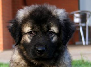Шарпланинац - щенок