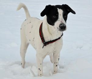 Датско-шведская фермерская собака в снегу