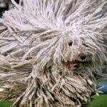 Самые пушистые породы собак: описание и фото