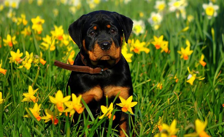 Ротвейлер среди травы