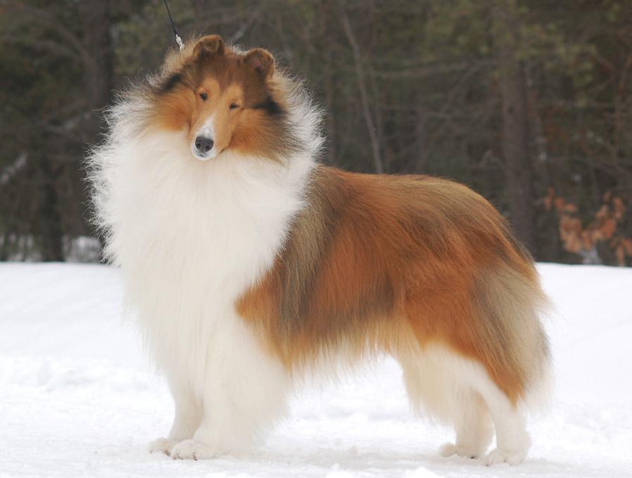 Дисплазия тазобедренного сустава у собак Симптомы