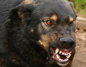 Что делать если собака стала агрессивной