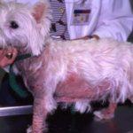 Атопия у собак: причины, симптомы и лечение
