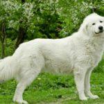 Мареммо-абруццкая овчарка: описание породы, характер, фото