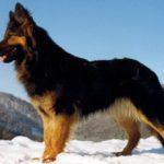 Чешская пастушья собака — описание породы, уход, характер (с фото)