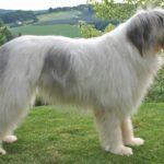 Румынская миоритская овчарка: характеристика и описание породы (с фото)