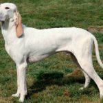 Фарфоровая гончая: описание породы, уход, характер
