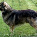 Крашская овчарка — описание и характеристика породы