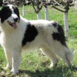 Греческая овчарка: описание породы, характер, фото