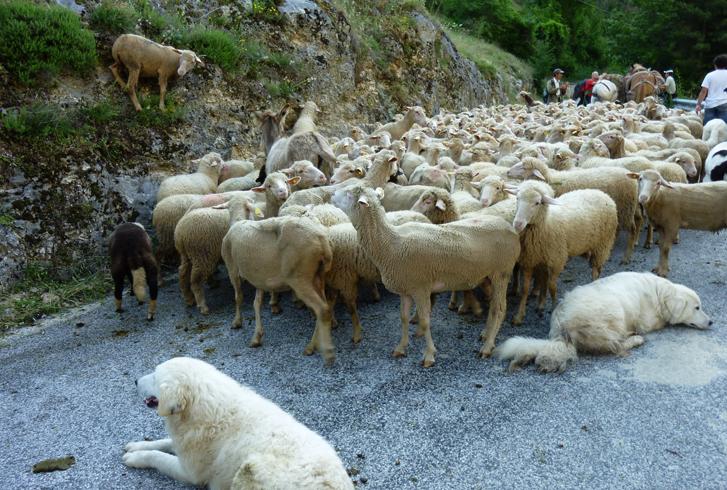 Мареммо-абруццкая овчарка с овцами