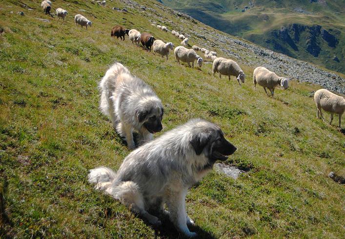 Крашские овчарки
