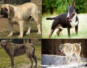 Топ 10 самых сильных в мире пород собак