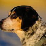 Цирроз печени у собак: симптомы и лечение