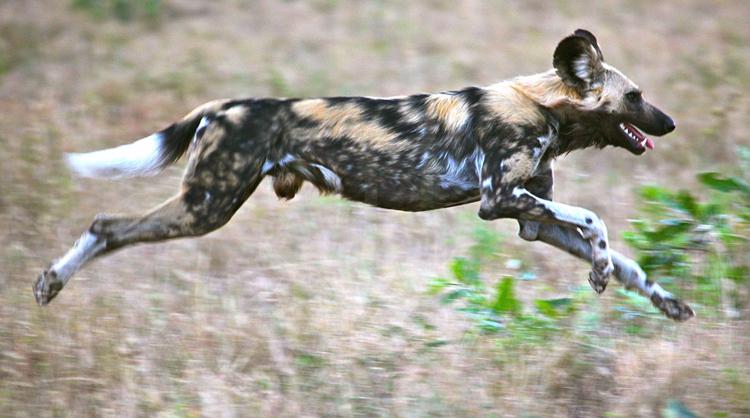 Африканская собака