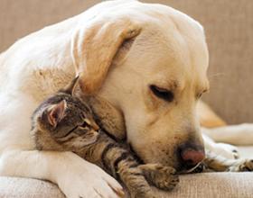 Как приучить собаку к котенку