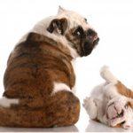 Метеоризм у собаки: причины и лечение