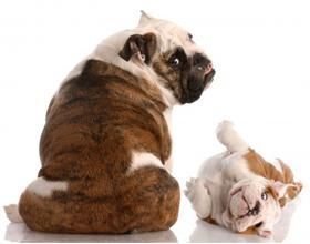Метеоризм у собаки