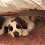 Почему собаки часто прячутся под кроватью?