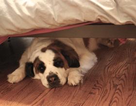 Почему собаки часто прячутся под кроватью