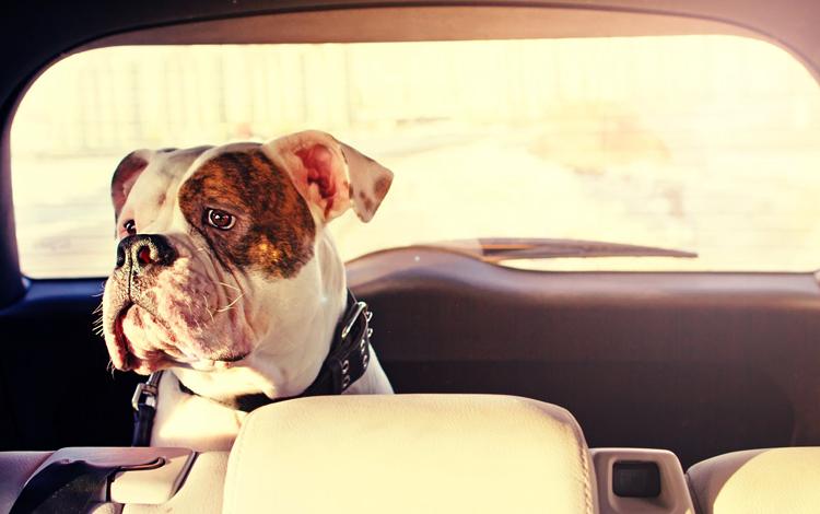 Собака внутри авто