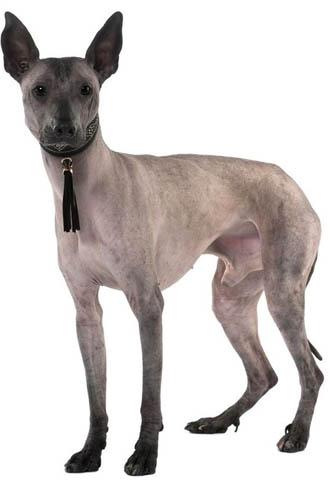 Эквадорская голая собака