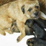 Эклампсия после родов у собаки: симптомы и лечение