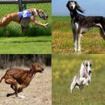 ТОП- 10 самых быстрых в мире пород собак