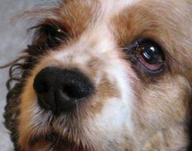 Синдром Горнера у собак