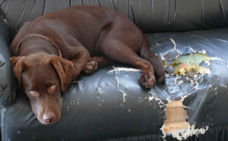 Собака и мебель