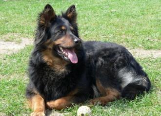 Чешская пастушья собака на травке