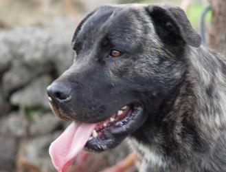 Азорская пастушья собака - мордочка