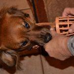 Как приучить щенка или взрослую собаку к наморднику