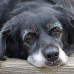 Распространенные болезни старых собак и их симптомы