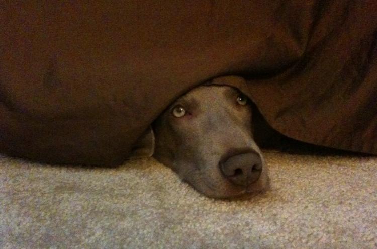 Пес прячется под кроватью