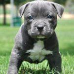 Как правильно воспитывать щенка питбуля?