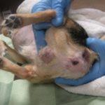 Простатит у собак: признаки, симптомы и лечение
