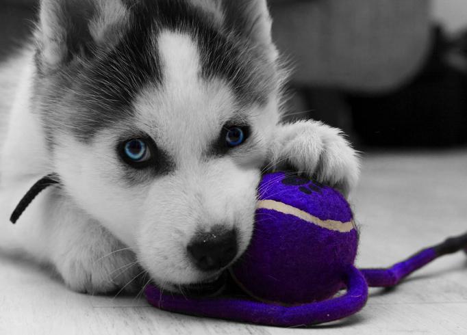 Красивый щенок хаски