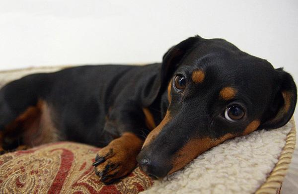 спинного у Ущемление радикулит нерва собаки,