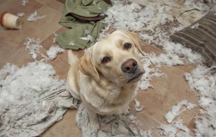 Собака повеселилась дома