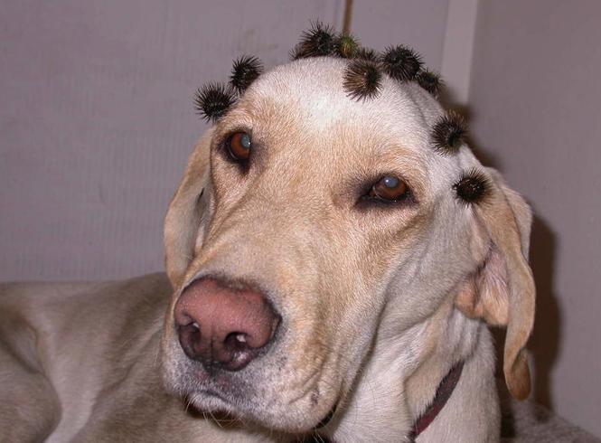 Собака и колючки репейника