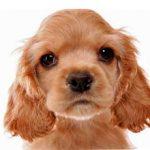 Как выбрать щенка кокер спаниеля и как за ним ухаживать