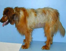 Что делать у собаки выпадает шерсть