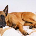 Желтуха у собак: симптомы, лечение, передается ли человеку