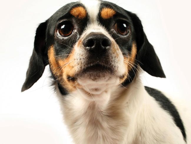 Страх у пса