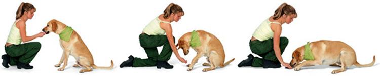 Собаку обучают команде Лежать