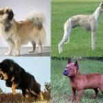 Китайские породы собак (с фотографиями и названиями)