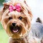 Вагинит у собак: признаки, симптомы, лечение