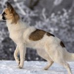 Норботтенская лайка — характеристика, описание породы, характер, фото