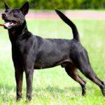 Тайваньская собака — описании породы, уход, характер, фото