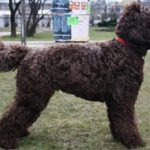 Французская водяная собака(Барбет): описание породы, характер, фото